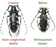 Images of the invasive Asian longhorned beetle (left) and native look-alike (right) (Photo: PA DCNR)