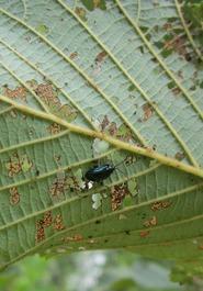 Alder flea beetle adult on alder leaf. MFS Photo
