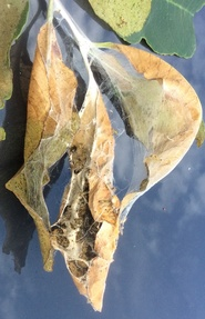 Browntail moth web in late-summer.  MFS Photo