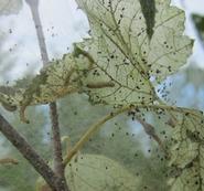 Fall webworm nest.  MFS Photo