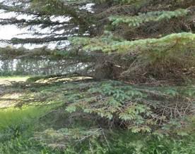Needle cast symptoms on blue spruce.  (A. Bergdahl ND Forest Service)
