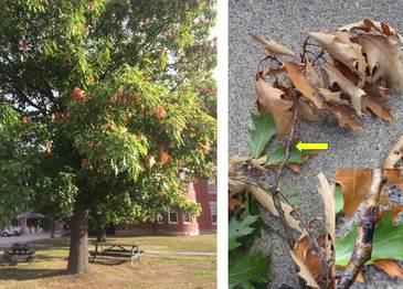 "Oak affected by ""Bot Canker."" Photos MFS"