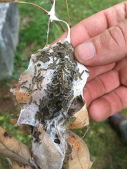 Browntail larvae preparing for winter (photo: Maine Forest Service).