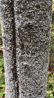Balsam woolly adelgid trunk phase (Photo: A. Wopat, Weyerhaeuser ).