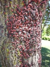 Boxelder bug adults and nymphs (Photo: Raymond Merrow).