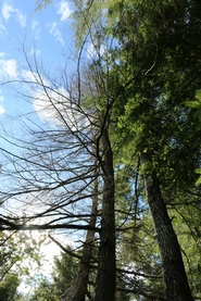 Hemlock trees showing whole crown symptoms, indicating a possible causal agent at the root zone (Photo: Maine Forest Service).