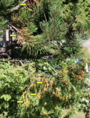 Typical seasonal needle drop by (top) mugo pine; (bottom) white cedar (Photo: Maine Forest Service).