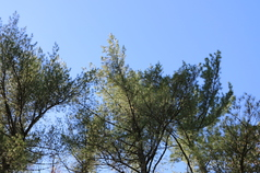 An example of the thin appearance of white pine crowns resulting from the casting of 2nd- and 3rd-year blighted needles (Photo: Maine Forest Service).