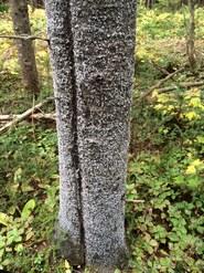 Balsam woolly adelgid trunk phase, A. Wopat, Weyerhaeuser