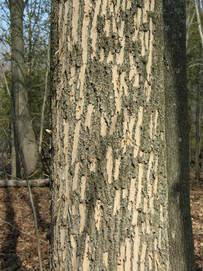 Evidence of woodpecker feeding on ash (MFS)