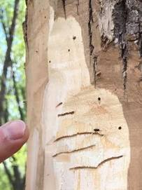 Eastern ash bark beetle galleries.  Photo: ME Project Canopy