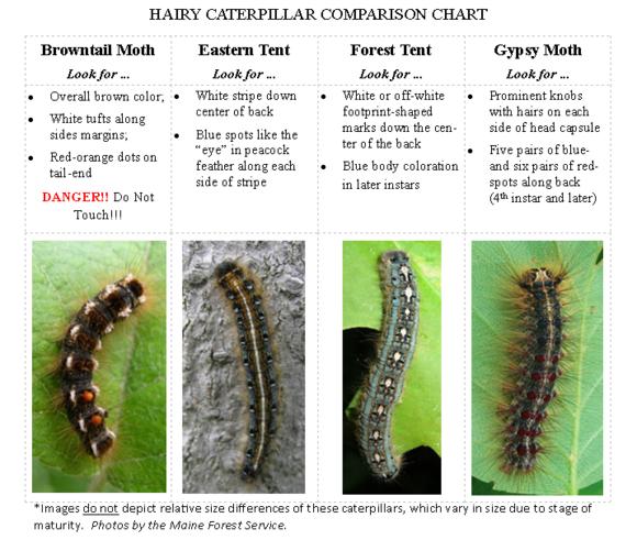 Hairy Caterpillar Comparison Chart (Photos MFS)