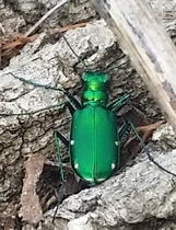 Six-spotted tiger beetle (Deven Morrill)