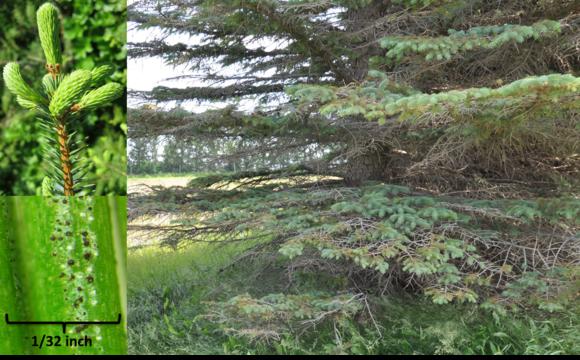 Spruce needlecasts (MFS)