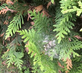 Arborvitae leafminers in spider web. MFS
