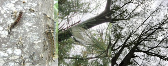 Forest tent caterpillar and damage. Maine Forest Service