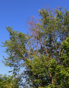 Dutch elm disease symptoms.  MFS