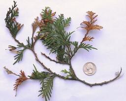 Pestilotiopsis tip blight arborvitae (MFS)