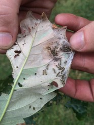 Immature browntail moth larvae in webbing on the underside of a leaf.  Image: Maine Forest Service.