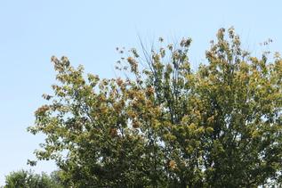 maple stress symptoms