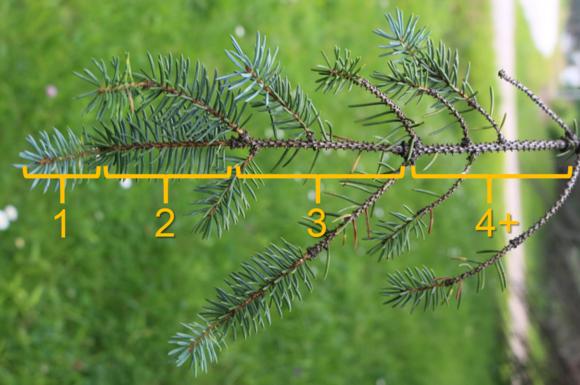 Spruce needlecast sample (MFS)