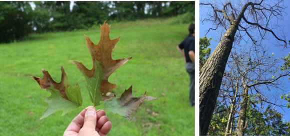 oak wilt. MFS (L), USFS (R)