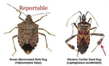 Brown Marmorated Stink Bug and Western Conifer Seedbug