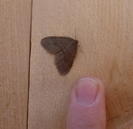 Winter Moth Male with Finger for Scale