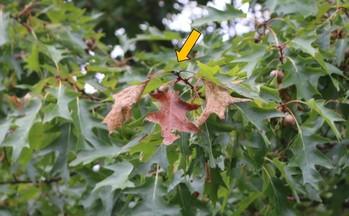 Tip dieback of red oak.  MFS Photo