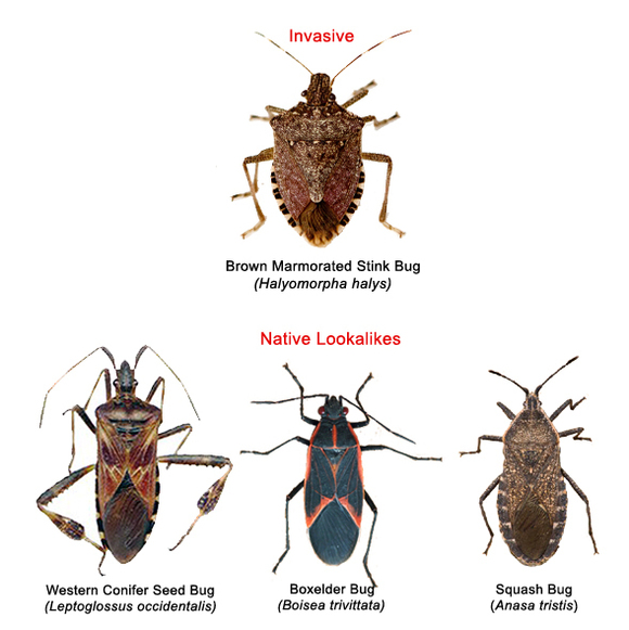 Bugs that look like stink bugs 10
