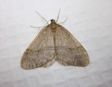 winter moth adult