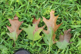 Oak wilt symptoms on prematurely defoliated leaves in Pittsburgh, PA. Image: Maine Forest Service.