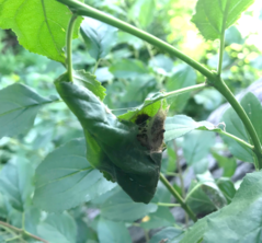 Browntail moth cocoon in common buckthorn. Photo MFS