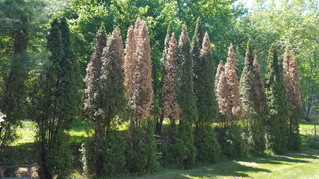 Arborvitae top damage symptoms thought to be due to winter injury. Image: Deborah Keene.