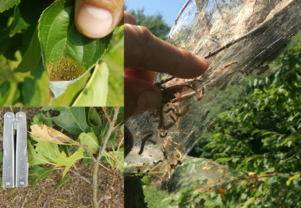 Comparison of browntail moth and fall webworm caterpillars and webs (MFS Photo)