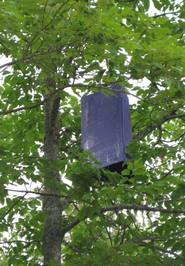 Purple traps similar to the one above captured single adult emerald ash borers in each of two locations in Grand Isle, Aroostook County.