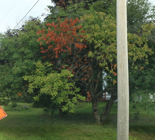 Mountain ash with fire blight. (Photo MFS