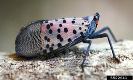 Spotted lanternfly is an invasive insect that has potential to spread throughout the northeast.  Photo: Lawrence Barringer, PDA, Bugwood.org