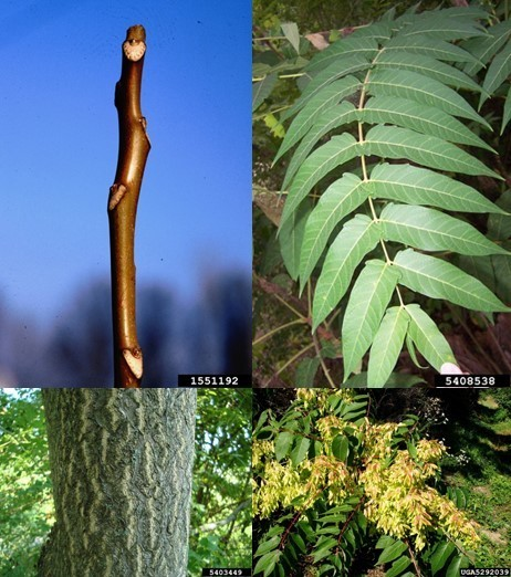 Tree-of-heaven characteristics.  Bugwood.org photos.