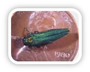 Emerald Ash Borer, an invasive forest insect, on a penny to show size of the adult.