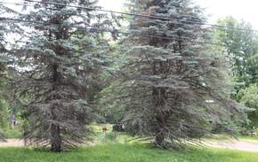 spruce needlecast