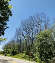 Oak mortality along the Mines Road in Blue Hill