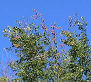 Wilting, discoloration and drying foliage of a Dutch elm disease-infected tree.