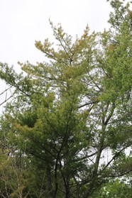 White pine heavily infected with brown spot needle blight showing and shedding yellowing needles in June