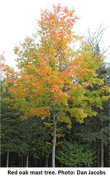Red oak mast tree