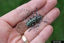 Asian longhorned beetle next to a penny for scale. Joe Boggs, OSU, bugwood.org
