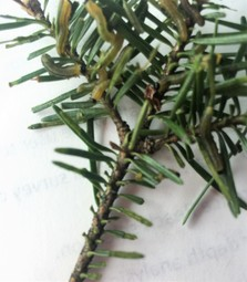 Messy feeding on older fir foliage is characteristic of balsam fir sawfly damage. MFS, T. Coolong