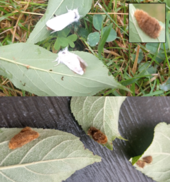 Female browntail moths depositing eggs; (inset and bottom) Egg masses of browntail moth. MFS