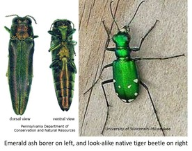 (left) EAB adult beetles; (right) A native tiger beetle. PA DCNR; University of Wisconsin Milwaukee
