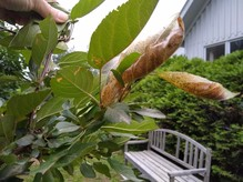 Early feeding damage and webbing from fall webworm caterpillars in crabapple. MFS
